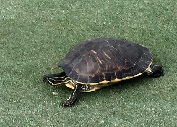 Ninija Turtle